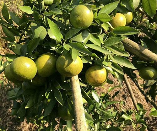 沃柑柑橘苗挂果