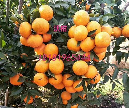 沃柑柑橘成熟期