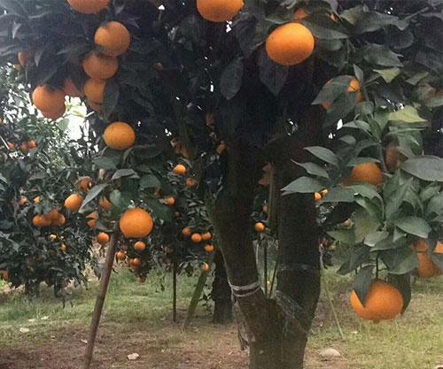 无核沃柑柑橘苗成品树
