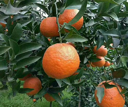 晚熟椪柑柑橘苗