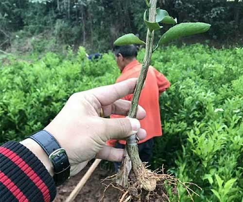 大雅柑柑橘苗