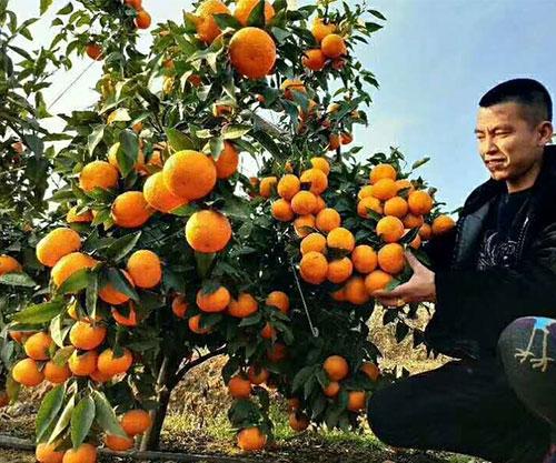 重庆沃柑柑橘苗