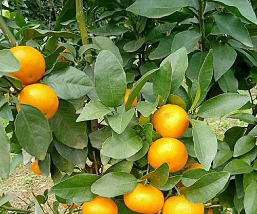 砂糖橘柑橘苗批发