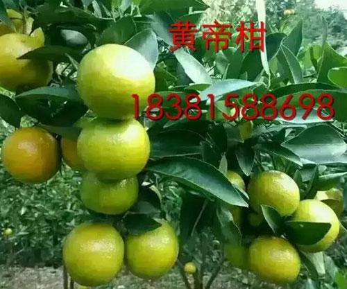 黄帝柑柑橘苗