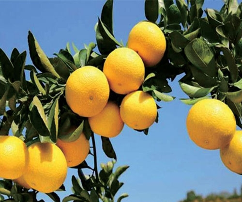 黄金柑柑橘苗