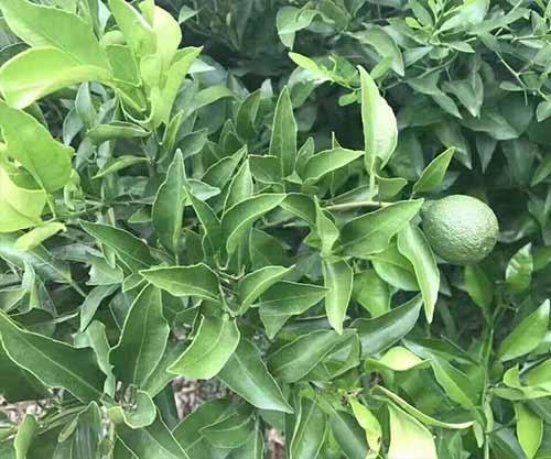 丑柑柑橘苗