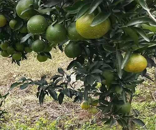 濑户见柑橘苗