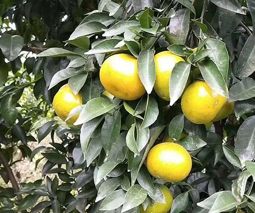 无核新诺柑橘苗