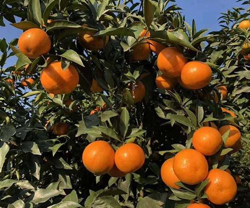 哪里有卖爱莎柑橘苗