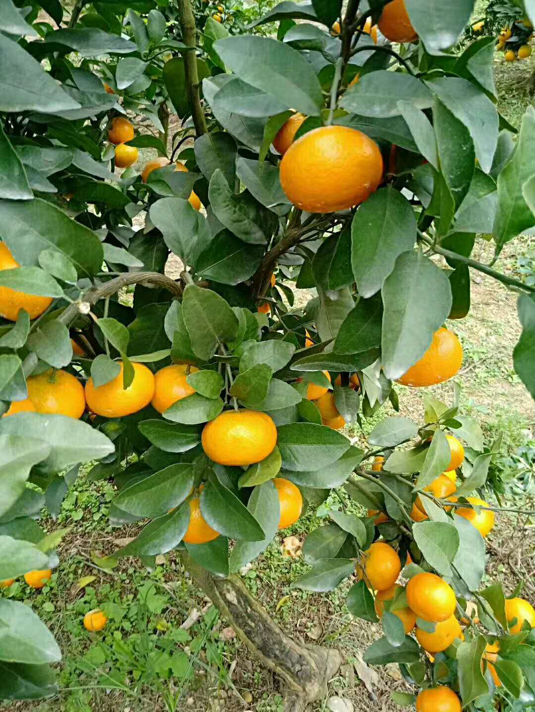 砂糖橘柑橘苗施肥